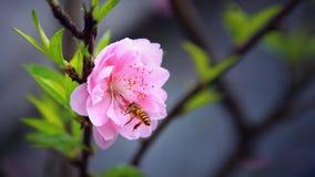 Cherry Vietnam 01 Imagenes de archivo