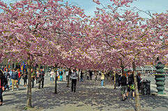 The cherry walk Stock Image