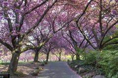 Cherry Walk en la floración gloriosa imagen de archivo