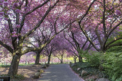 Cherry Walk in Glorious Bloom Stock Image