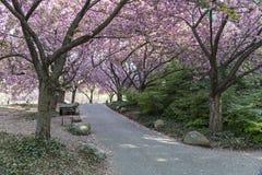 Cherry Walk oavkortad blom arkivbilder