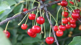 Cherry. The cherry was filmed in Bulgaria Yambol stock footage