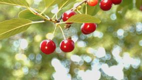 Cherry and the wasps. Slow motion. Close-up. stock video footage