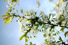 Cherry white blossom and blue sky background Stock Image