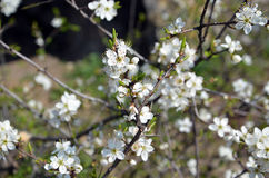 Cherry white blossom on the branches of tree Royalty Free Stock Images