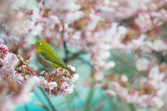 Cherry and White eye Royalty Free Stock Photos