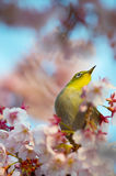 Cherry and White eye Royalty Free Stock Photography