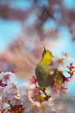 Cherry and White eye Royalty Free Stock Image