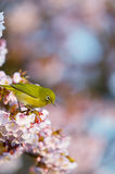 Cherry and White eye Royalty Free Stock Photo