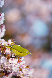Cherry and White eye Stock Image