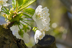 Cherry white flower. Beautiful cherry blossom in April Royalty Free Stock Image
