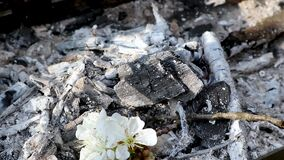 Cherry white flowers falling in hot wood charcoal