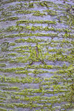 Cherry wood surface texture with moss. Close-up Royalty Free Stock Photo