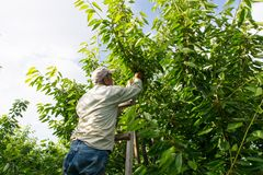 Cherry worker stock images