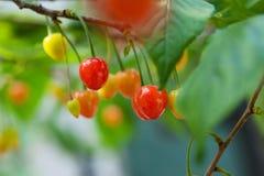 Cherry. Yard cherry red fragrance of a hospital, a hospital fiery beauty ah Stock Photography
