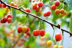 Cherry. Yard cherry red fragrance of a hospital, a hospital fiery beauty ah Stock Image