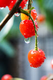 Cherry. Yard cherry red fragrance of a hospital, a hospital fiery beauty ah Royalty Free Stock Image