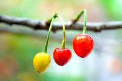 Cherry. Yard cherry red fragrance of a hospital, a hospital fiery beauty ah Royalty Free Stock Photos