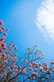 Cherryblomma Royaltyfri Fotografi