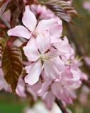 Cherryblommatree Royaltyfri Bild