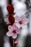 Cherryblommor Arkivbild