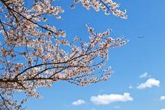 Cherryblomning i Tokyo Arkivfoto