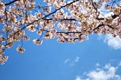 Cherryblomning i Tokyo Royaltyfria Bilder
