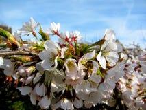 Cherryblomning och bi Royaltyfri Fotografi