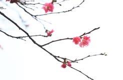 Cherryblomningar Arkivfoton