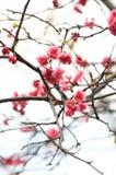 Cherryblomningar Royaltyfria Bilder