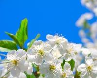 Cherryblomningar Arkivbilder