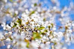 Cherryblomningar Fotografering för Bildbyråer