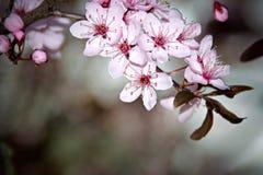 Cherryblomningar Arkivfoto