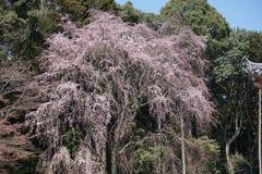 Cherryblossom-Blume Lizenzfreie Stockfotografie