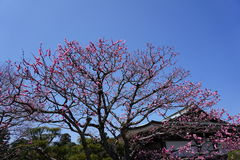 Cherryblossom flower Stock Photo