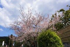 Cherryblossom flower Stock Images