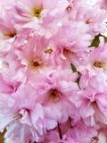 Springflowers. Cherryblossom in garden royalty free stock photo