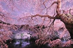 Cherryblossom si illumina in su Immagine Stock Libera da Diritti