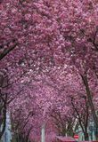 Cherryblossom w Bonn, Heerstraße zdjęcia royalty free