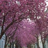 Cherryblossom w Bonn, Heerstraße zdjęcia stock