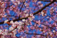 Cherryblossoms w kwiacie obraz stock