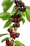 Cherryet bär fruktt leafs Fotografering för Bildbyråer