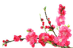 Cherryet blommar fjädern Arkivbild