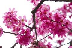 Cherryet blommar fjädern Royaltyfri Fotografi