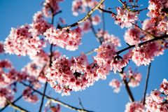 Cherryet blommar fjädern arkivbilder