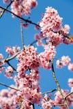 Cherryet blommar fjädern royaltyfri foto