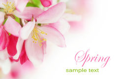 Cherryet blommar fjädern Royaltyfria Foton