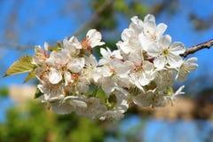 Cherryet blommar treen Arkivbild