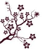 Cherryet blommar treen Arkivfoto