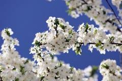Cherryet blommar treen Royaltyfri Fotografi